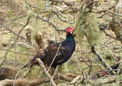 oregon-pheasant-hunting_20160609_153927