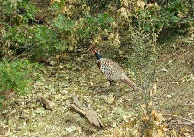 oregon-pheasant-hunting_20160609_153550