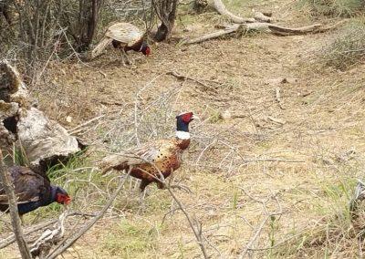 oregon-pheasant-hunting_20160609_154013