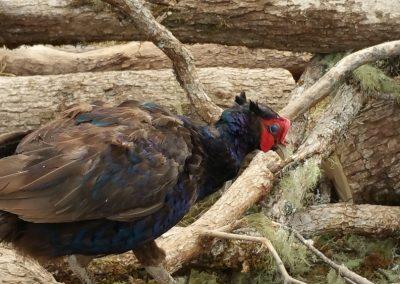 oregon-pheasant-hunting_20160609_154153